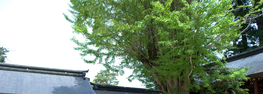 銀杏の木2